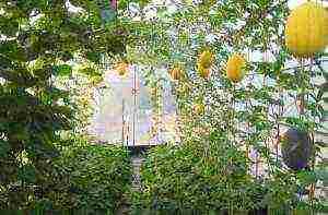 Как вырастить арбуз в теплице: схема формирования, пасынкование, уход