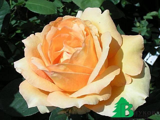 Роза амалия энциклопедия роз. роза амалия