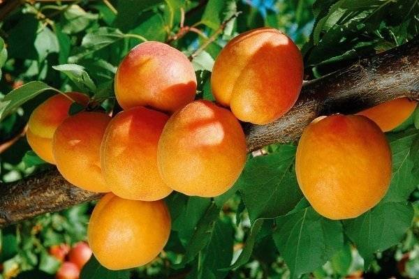 Сорт абрикоса чемпион севера