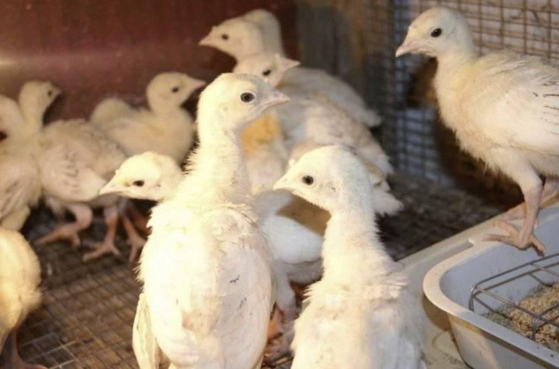 «метронидазол» для птиц: описание, инструкция по применению