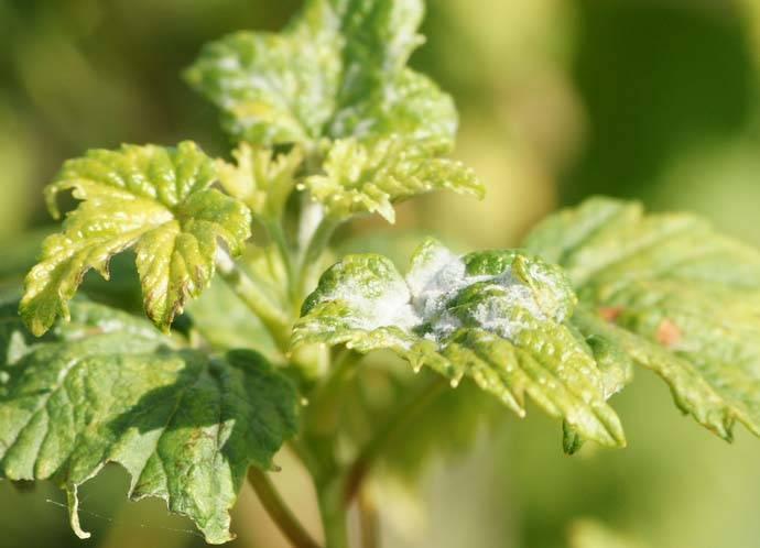Болезни красной смородины: как лечить и бороться с вредителями