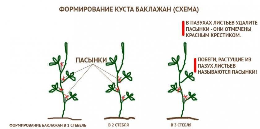 Выращивание и уход за баклажанами в теплице: сорта, посадка, условия