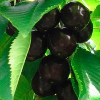Черешня наполеон, мулатка и черный принц — описание среднеспелых сортов черной черешни, фото, отзывы