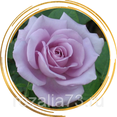 Чайно-гибридная роза «голубая река»