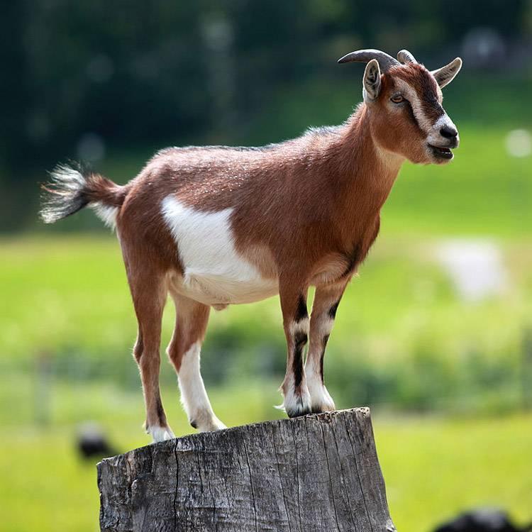 Домашняя коза — википедия переиздание // wiki 2