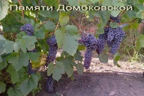 Сорт винограда памяти негруля