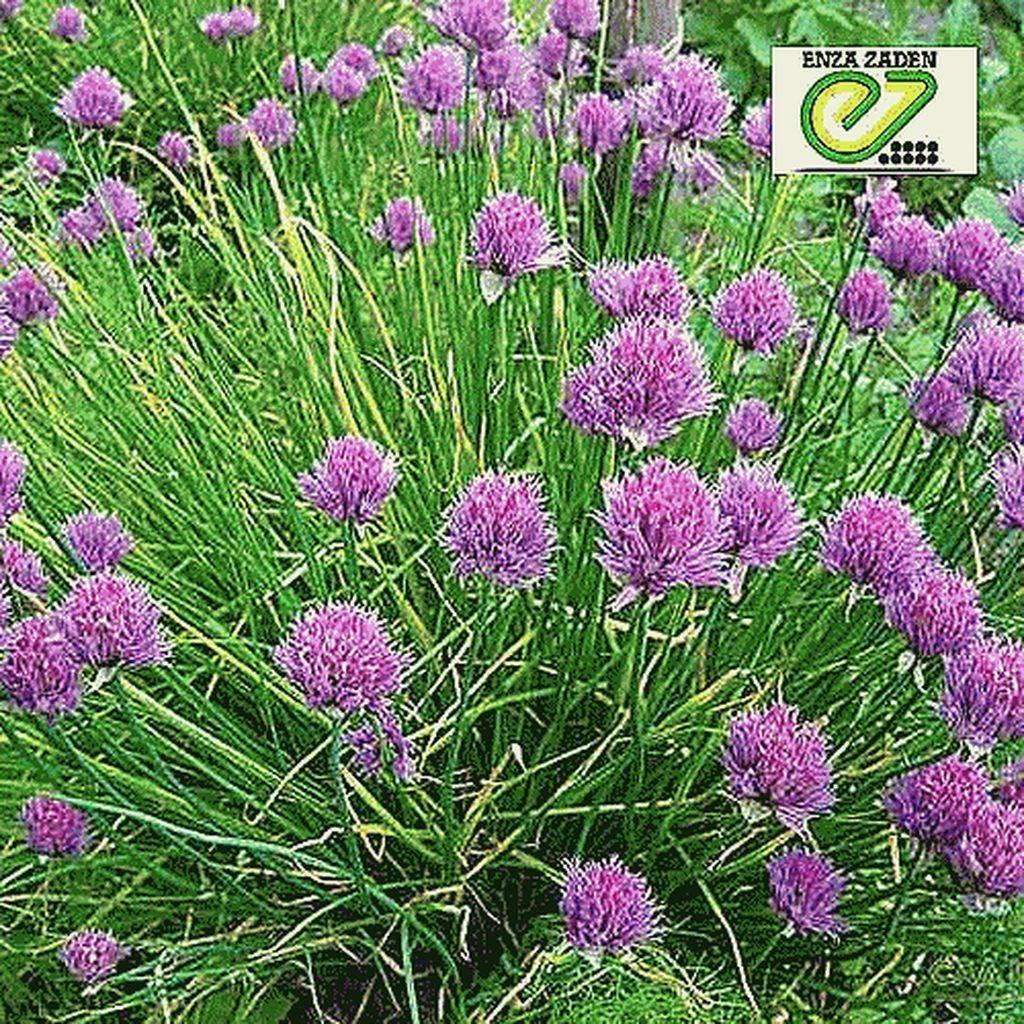 Как выращивать лук семенами: все о посадке и выращивании за один сезон