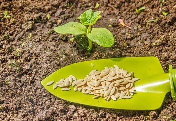 Через сколько дней всходит щавель после посева семян, как быстро по времени, почему долго не растет, что делать, как выглядит на фото при посадке в открытый грунт?
