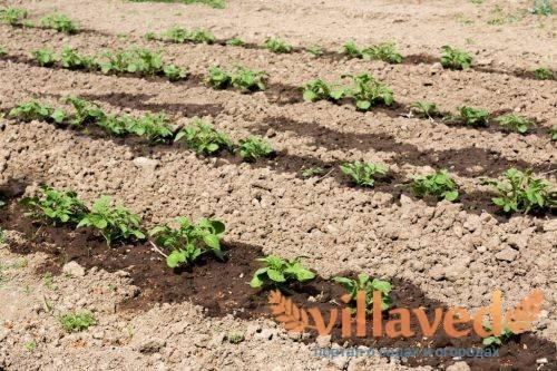 Внекорневая подкормка картофеля химическими удобрениями и органикой