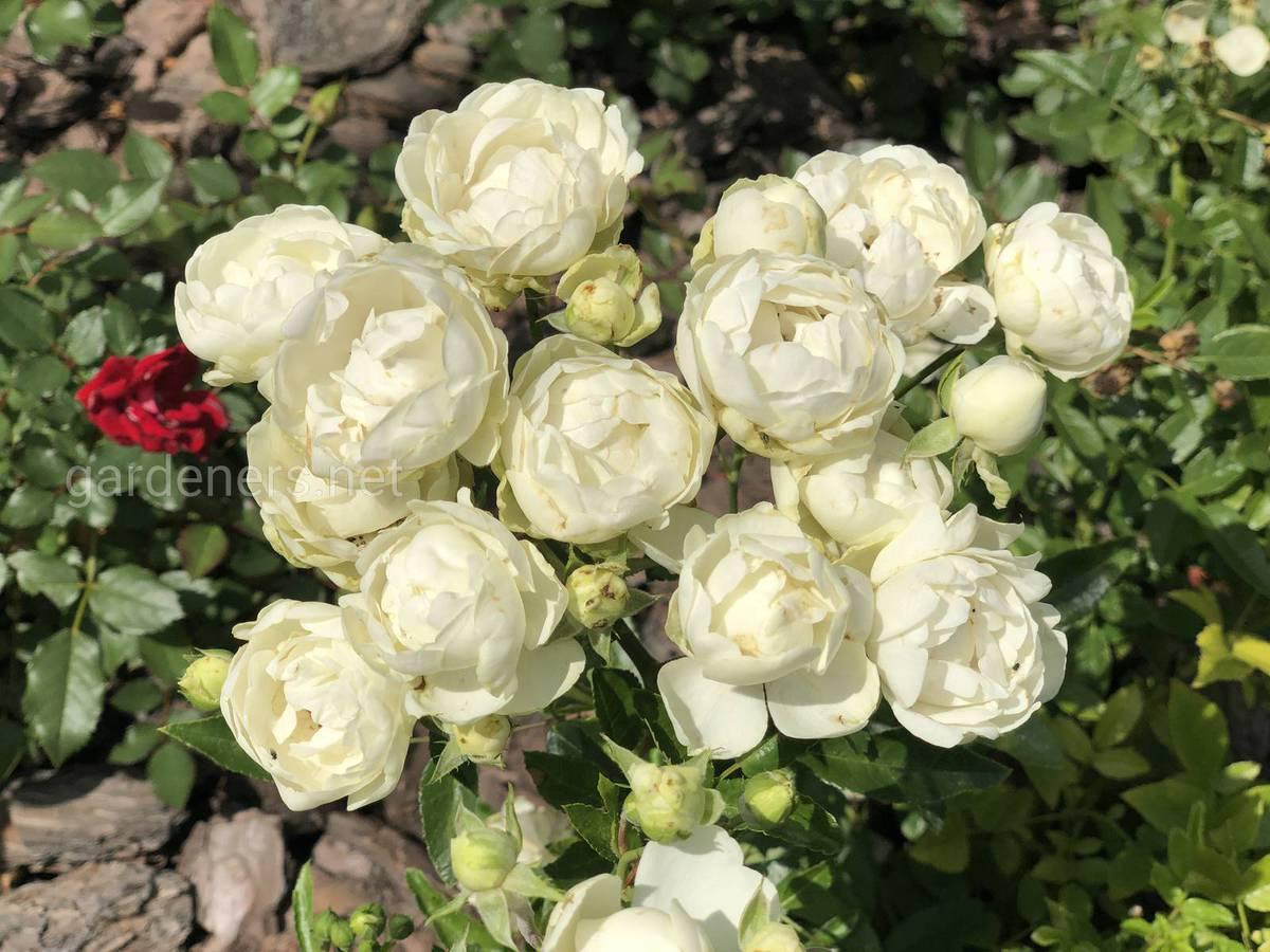Пересадка роз летом на другое место