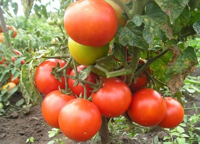 Как посеять на рассаду томаты и когда это сделать – пошаговый мастер-класс с фото
