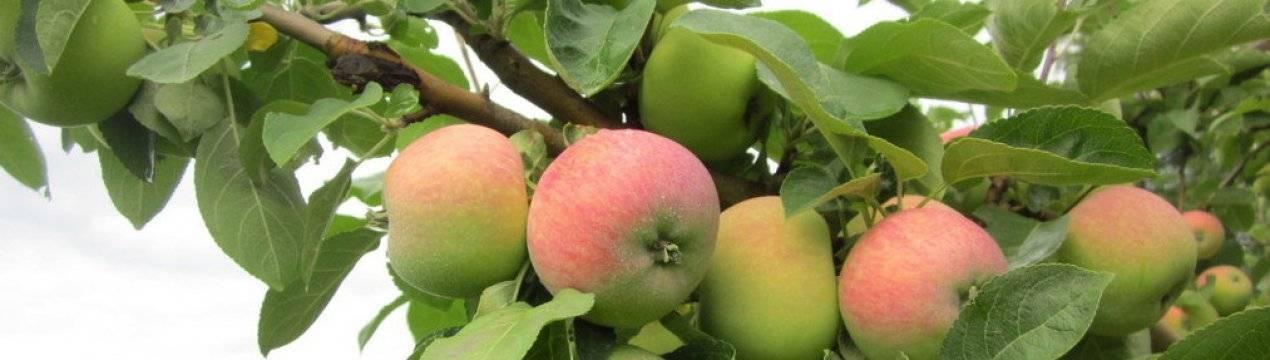 Яблоня 'боровинка' — википедия. что такое яблоня 'боровинка'