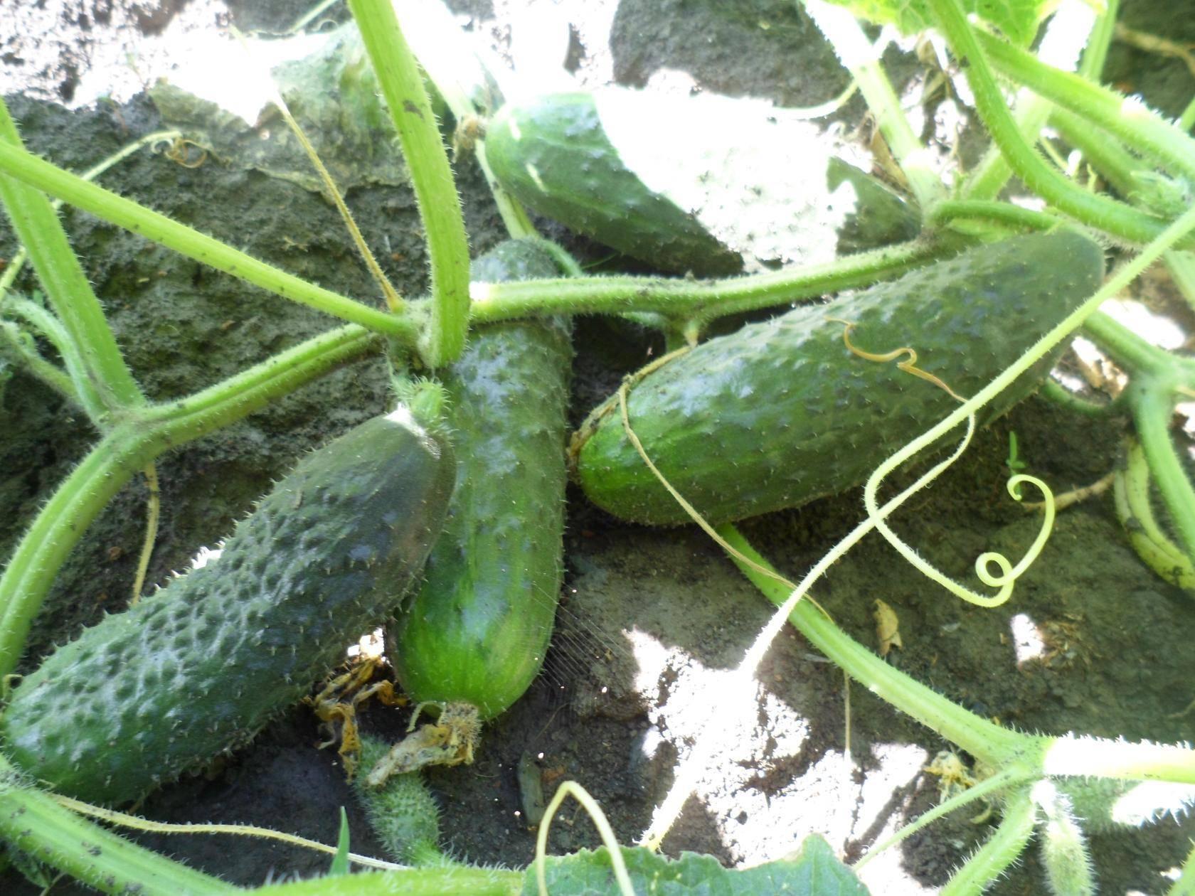 Подкормка для огурцов в теплице — когда и какие удобрения вносить?