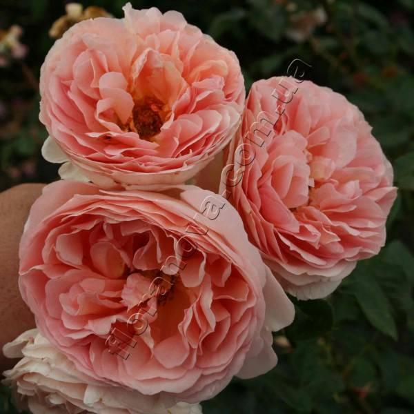 Abraham darby роза отзывы