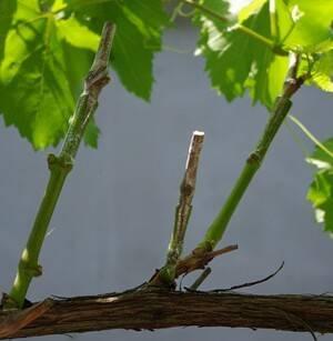 Прививка винограда: схемы, методы, сроки, нюансы и секреты прививки виноградников (120 фото)