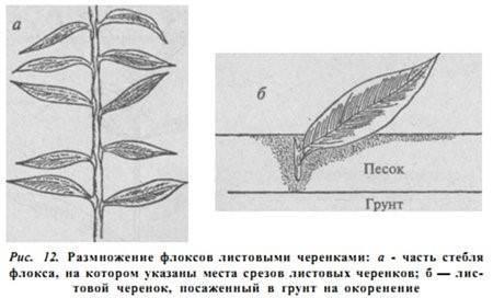Флоксы. семь способов размножения