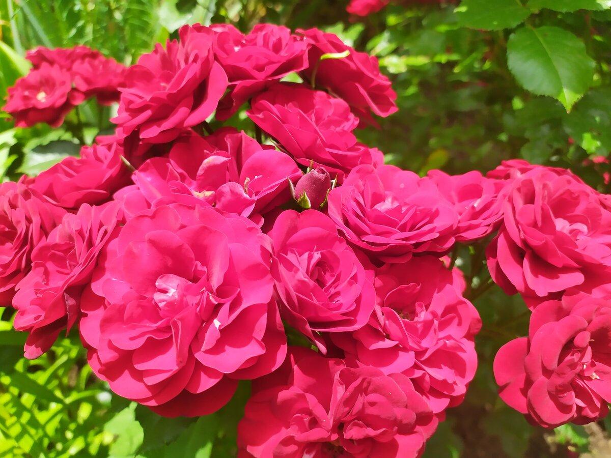 Как пересадить взрослую розу на новое место
