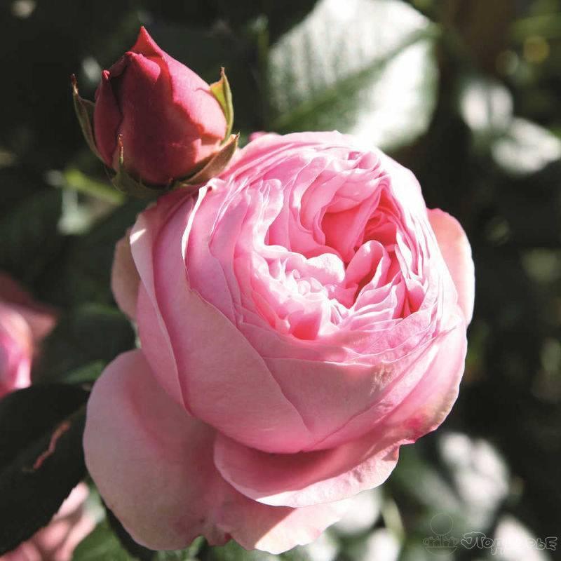 В королевстве роз плетистых звезды меркнут неказисто
