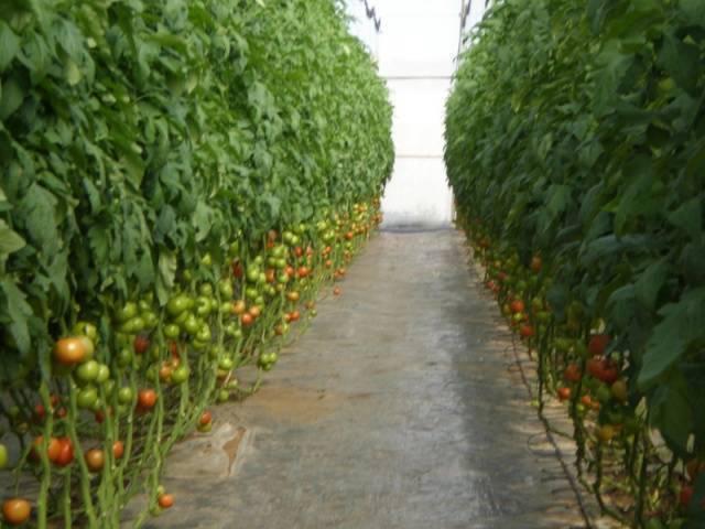 Что же такое корневая гниль помидоров, как с ней бороться и как выглядит эта болезнь на фото?