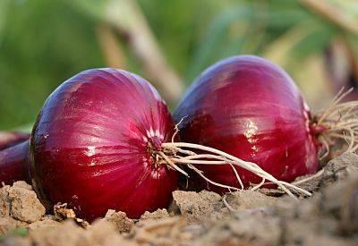 Как подготовить лук-севок к посадке - овощи - 2020