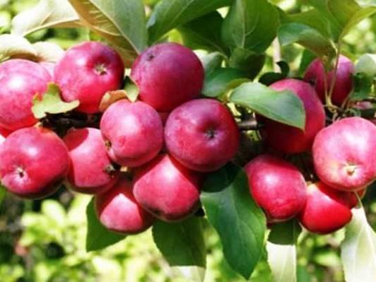 Яблоня «пепин шафранный»: описание сорта, фото и отзывы