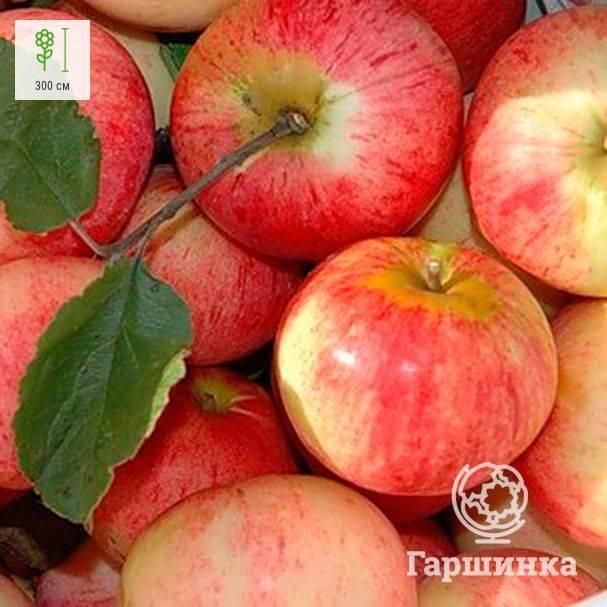 О яблоне штрифель, описание, характеристики сорта, агротехника выращивания