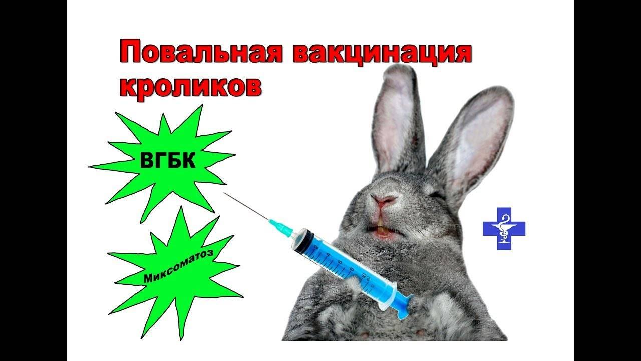 Вакцинация кроликов: от каких болезней и какими препаратами проводится?