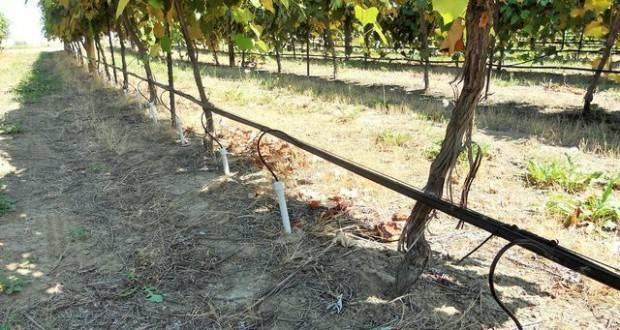 Как правильно поливать виноград, чтобы он хорошо рос