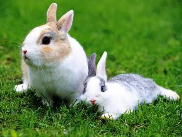 Кокцидиоз у кроликов и цыплят: чем опасен и как лечить