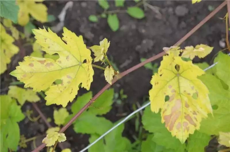 Хлороз винограда. как  бороться с ним?