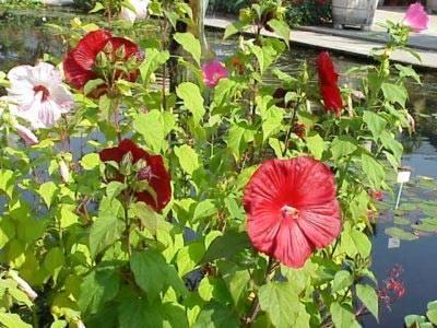 Гибискус садовый (сирийский)