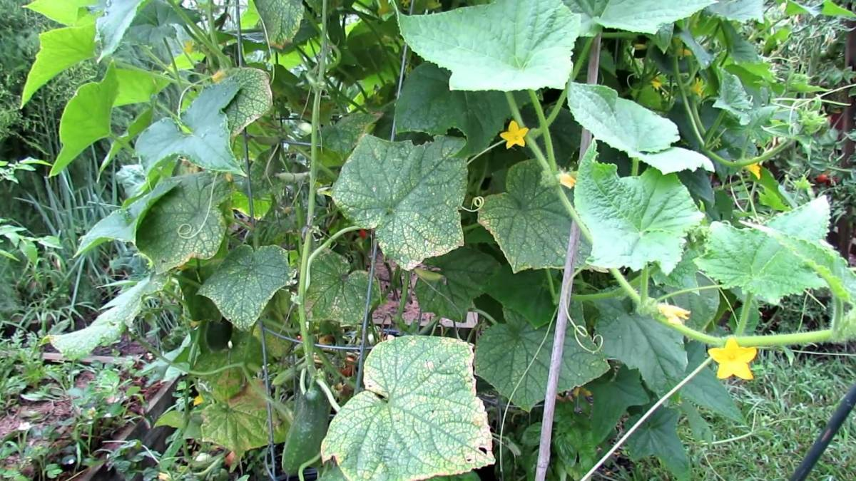 Почему у огурцов сохнут и белеют листья