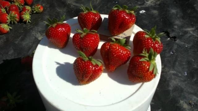 Клубника сорта соната: максимальный выход товарной ягоды
