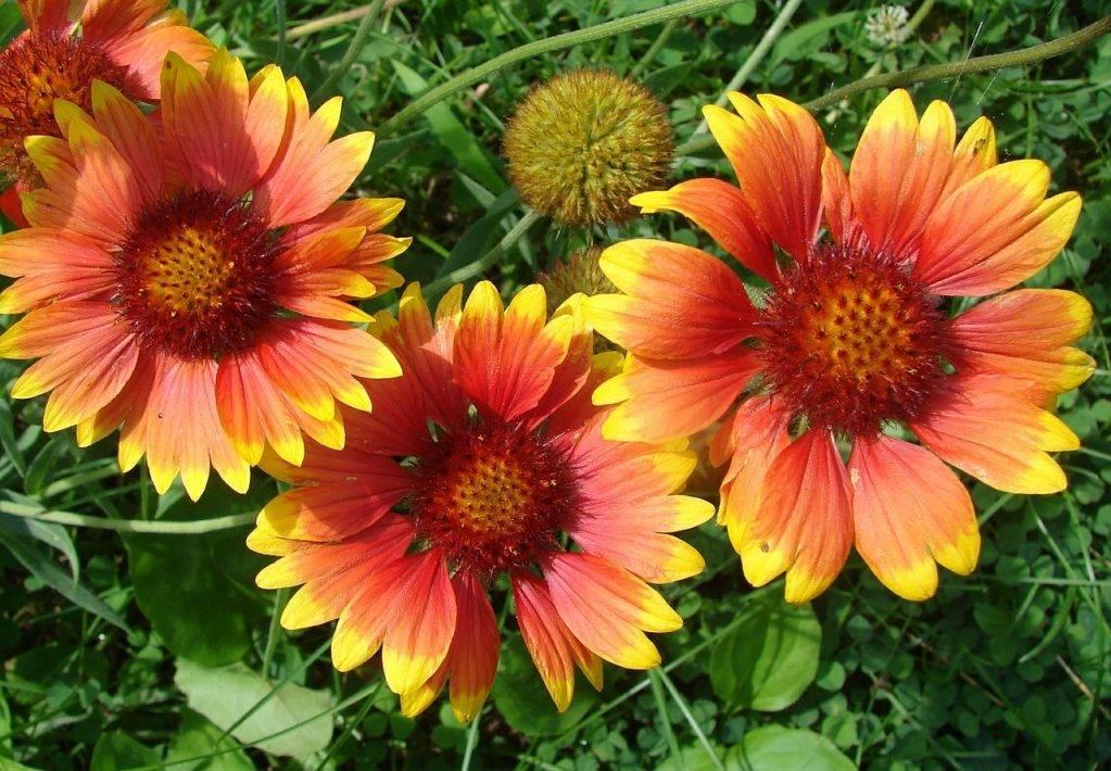 Гайлардия: выращивание, размножение