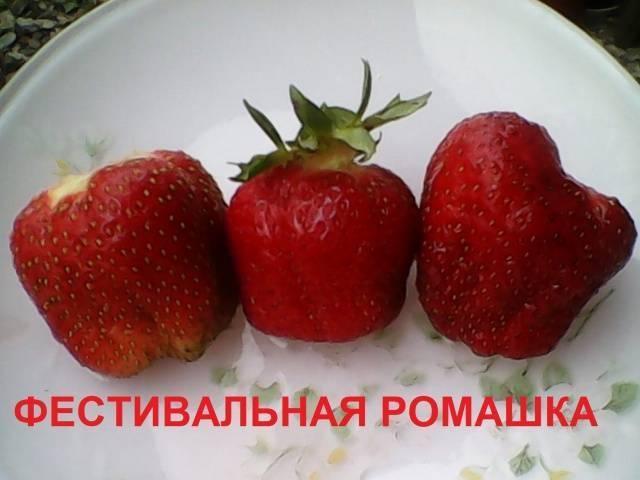 """""""фестивальная"""" клубника - незаслуженно забытый сорт"""