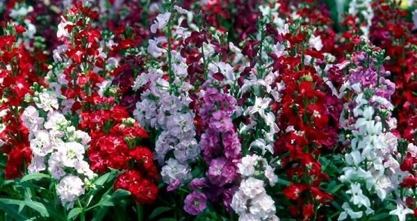 Маттиола седая: сорта, выращивание из семян