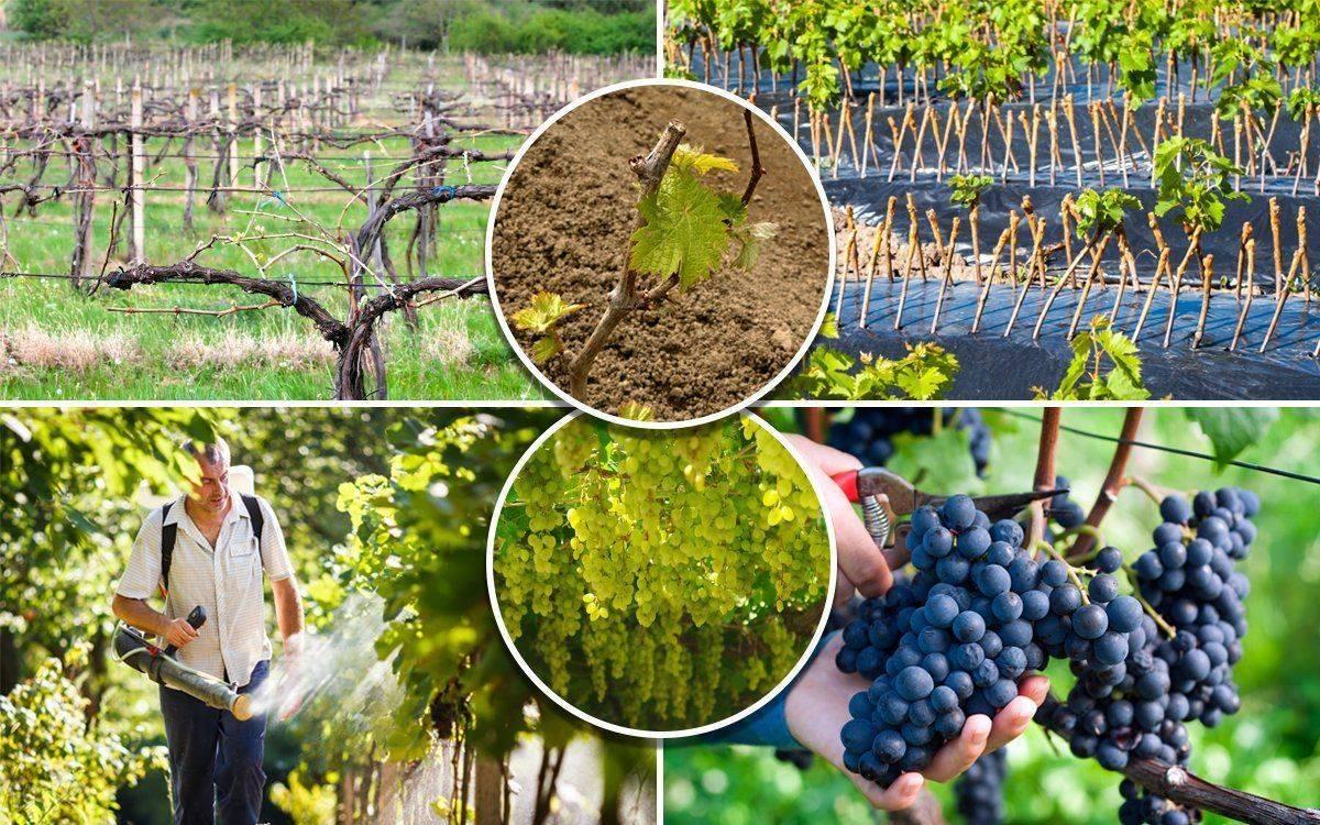 Уход за виноградом весной, подробное описание   дом семья и я