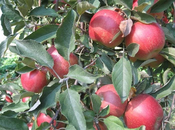 Яблоня веньяминовское описание