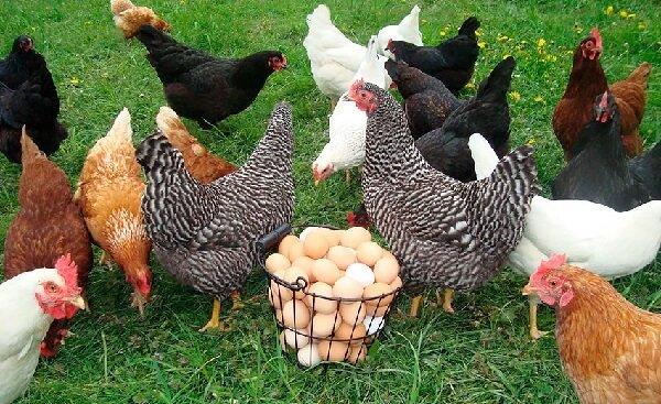 Лучшие породы кур-несушек для дома (69 фото): названия и описание пород яичного направления для домашнего хозяйства