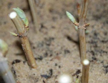 Размножение чубушника черенками. мастер-класс