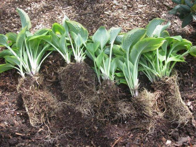 Все о размножении хосты семенами, листьями, черенками (посадка, дальнейший уход)