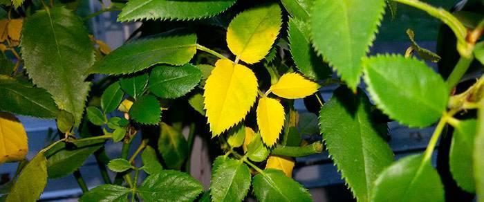 Почему у розы желтеют листья летом на улице