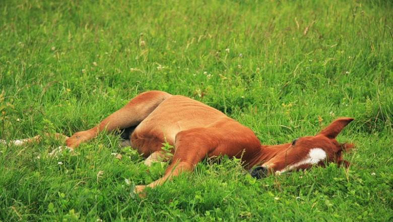 Как обычно спят лошади