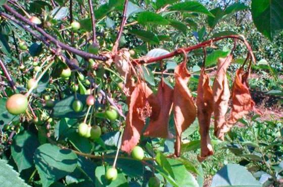 Какие бывают болезни вишни: симптомы, борьба и профилактика