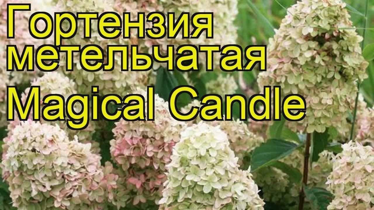 Гортензия метельчатая «кэндллайт» (25 фото): описание сорта candlelight, посадка и уход