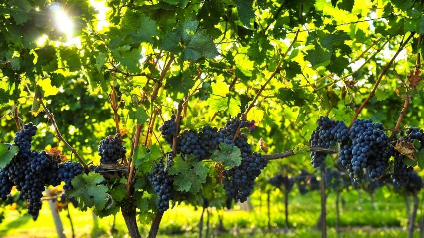 Борная кислота для винограда: видео и фото применения, методы опрыскивания и пропорции раствора