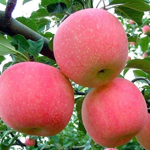 О яблоне Фуджи: описание и характеристики сорта, посадка и уход, выращивание
