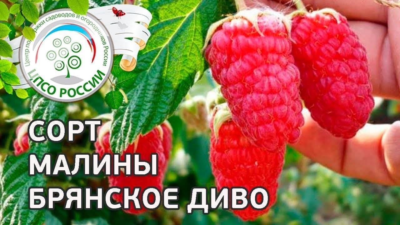 Сорт малины брянское диво: описание, посадка, уход, размножение