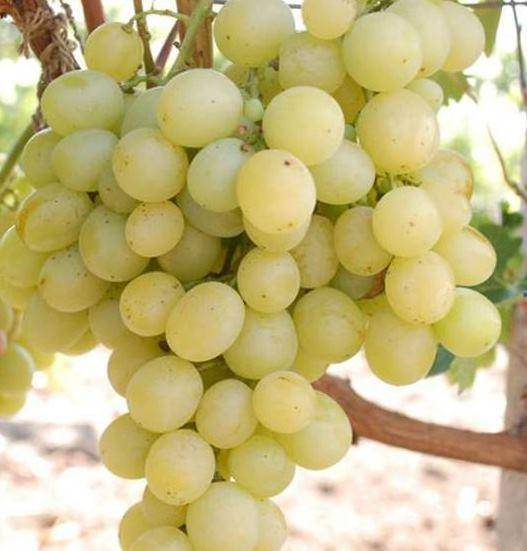 Описание винограда муската белого