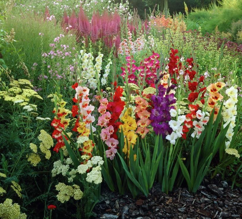 Посадка гладиолусов и уход за ними в саду: полив и подкормка гладиолусов на клумбе